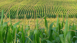 Drought-tolerant corn field