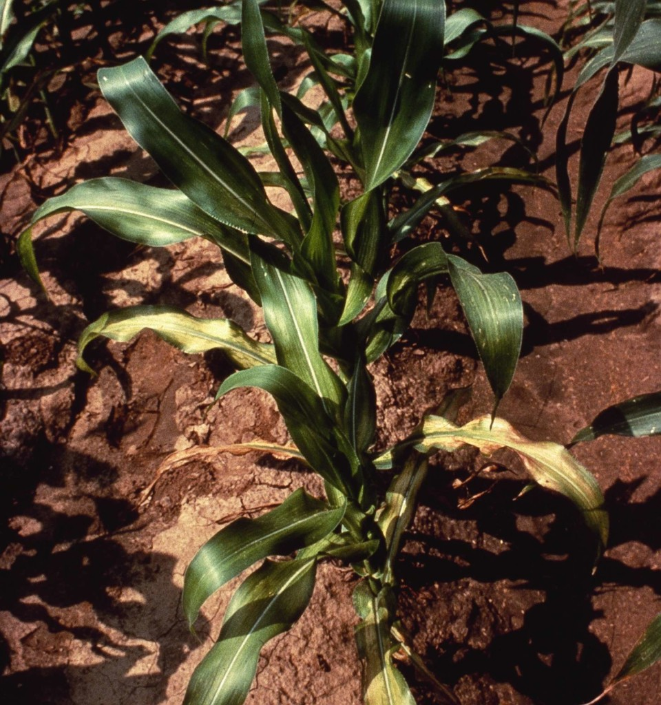 Zinc deficiency in corn causes interveinal, light striping, or a whitish band beginning at the base of the leaf and extending toward the tip.