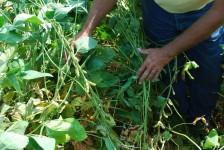 Soybean Disease