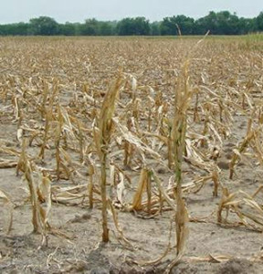 Corn Suffering from Drought