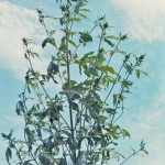 Giant Ragweed