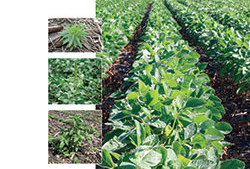 The Resistant Weeds Epidemic