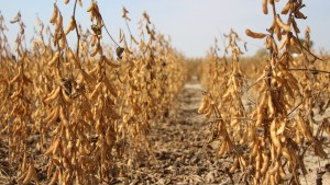 After A Drought: To Inoculate Soybeans Or Not?