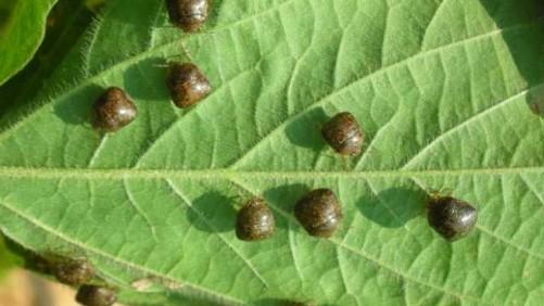 Adult kudzu bugs on a soybean leaf.