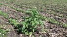 Waterhemp in soybean stubble