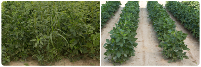 Enlist Duo herbicide Field Trials