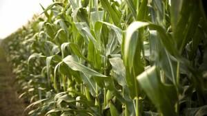 Modern Corn Hybrids More Resilient To Nitrogen Stress