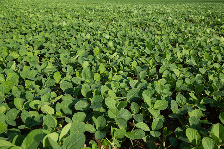 Kansas State University Researchers Find New Pathogens in Soybean Seeds