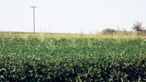 Study Explains Waterhemp's Metabolic Resistance to Topramezone