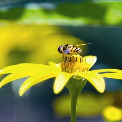 Honey-Bee-Full