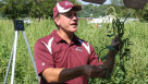 Dr. Bryan Young, Southern Illinois University, shows tour attendees a female Palmer amaranth plant.