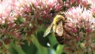 Bee on a Sedum