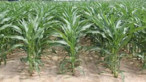 Dow AgroSciences Announces Launch of Enlist Corn for 2018 Planting