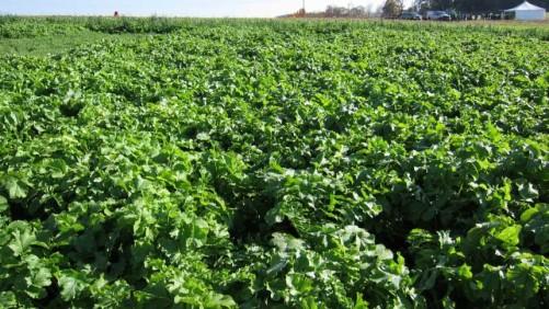 Radish cover crop