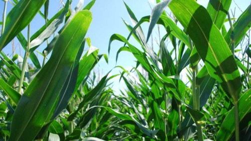 Golden Harvest Corn healthy leaves