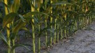 Golden Harvest Corn stalks