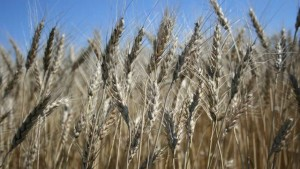 Nitrogen Use Efficiency Helps Evaluate 4R Practices in Wheat