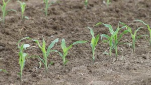 Good Soil Health Can Be Compromised Without Good Soil Fertility