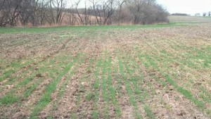 The Importance Of Wheat Seed Treatments