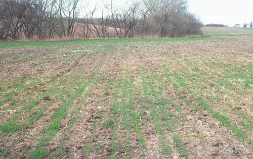 Poor wheat stand diminished by diseases