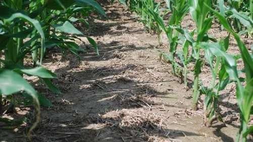 Acuron Herbicide Corn field