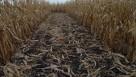 Corn Stover Stubble