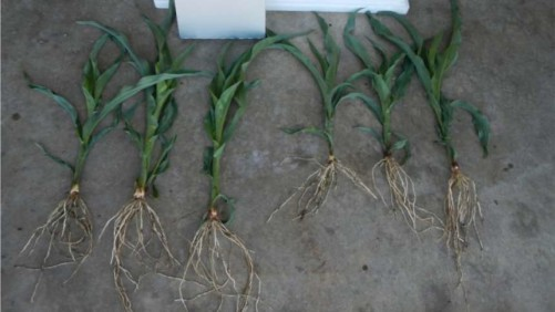 Toggle Biostimulant corn roots