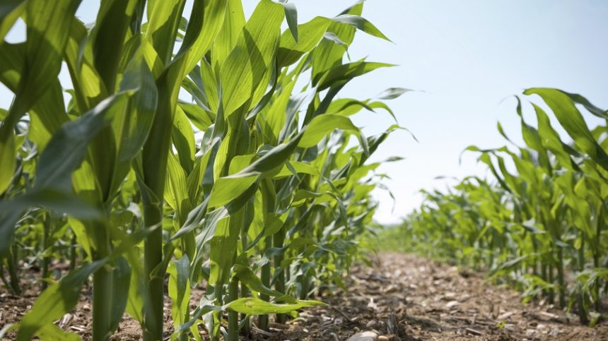 What Are Nitrogen Losses Like Without Nitrogen Fertilization?