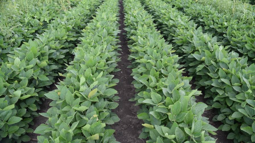 Engenia soybeans