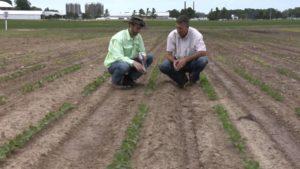 Soilborne Diseases Impact Soybeans
