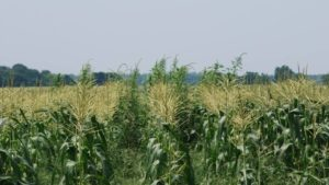 Online Course Offers Assistance in Developing Weed Management Plan