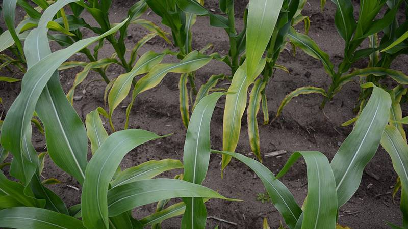 corn-potassium-deficiency-University-of-Minnesota-Extension