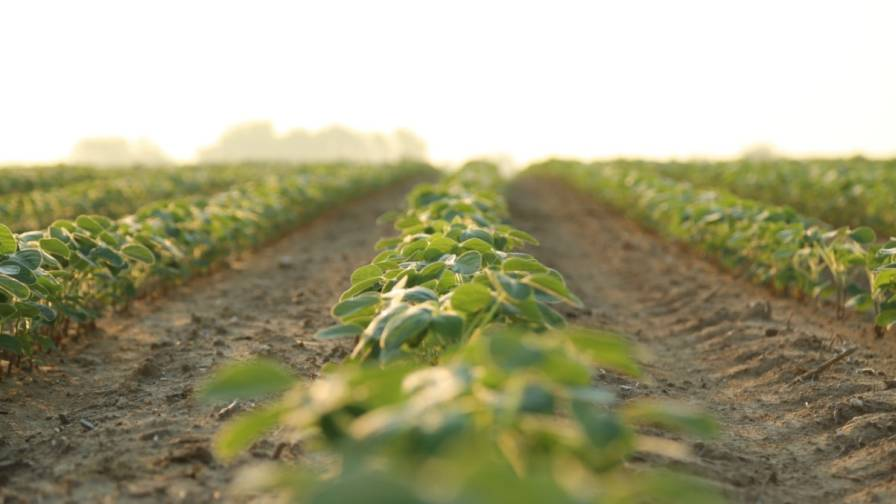 Soybeans weeds