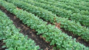 When and Why to Double Inoculate Your Soybeans