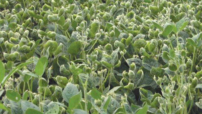 Cupped-Leaves on soybeans dicamba injury
