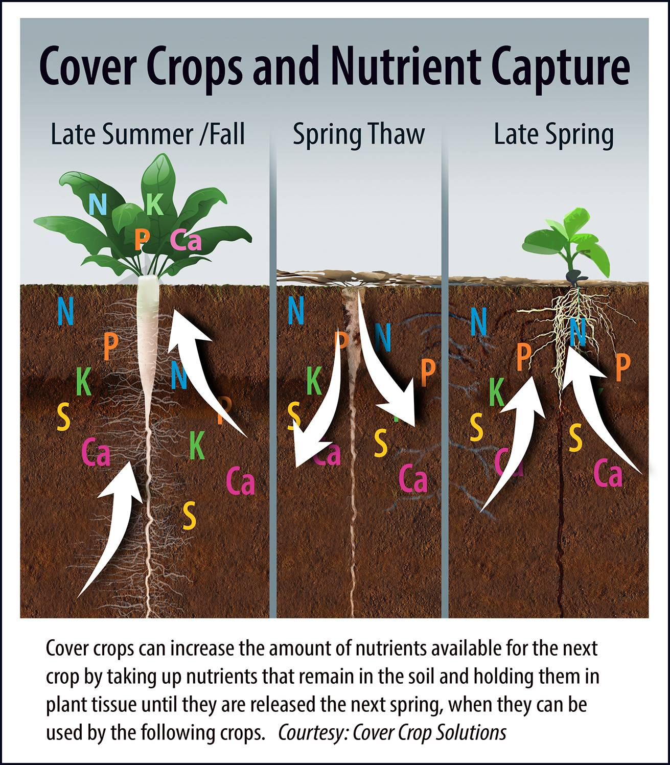 Cover-Crops-and-Nutrient-Capture-graphic