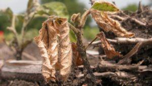 Diagnosing Soybean Seedling Diseases