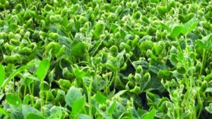 Dicamba So Far in 2018: Tough to Tell
