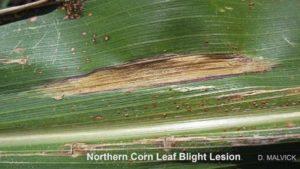 Identifying Symptoms of Northern Corn Leaf Blight