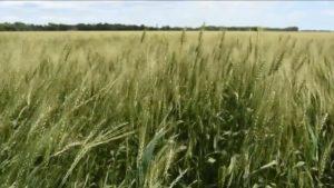 Syngenta Introduces New Fungicide Adepidyn