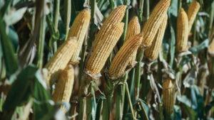 Top Growers RevealFive Secrets to Reducing Crop Stress for Bin Bustin' Yield