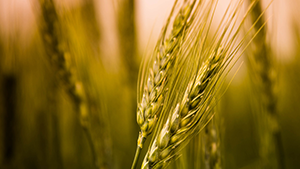Give cereal crops the stamina they need to grow