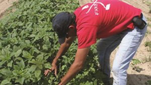 Weed Management Key for Georgia Cotton Farmers