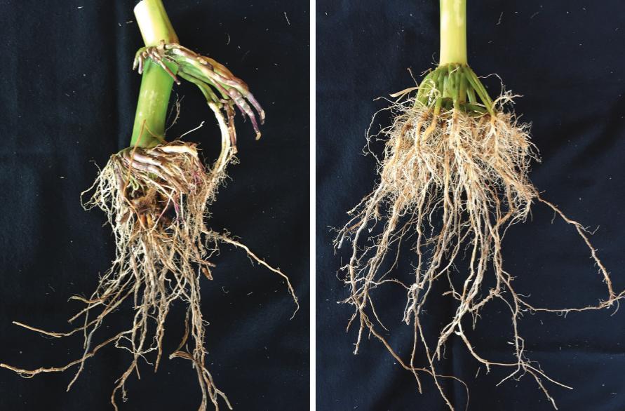 (Left) Non-corn rootworm traited, Waterloo, IA; (Right) SmartStax PRO Root, Waterloo, IA.Photos Courtesy: Bayer