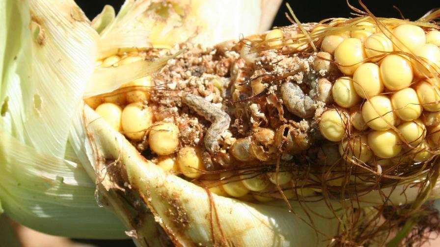 Western bean cutworm larvae in ear; photo courtesy Chris DiFonzo