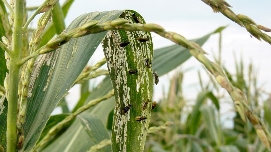 Western corn rootworm beetles strip tissue from the leaves of mutant corn. (Purdue University photo/Anoop Sindhu)